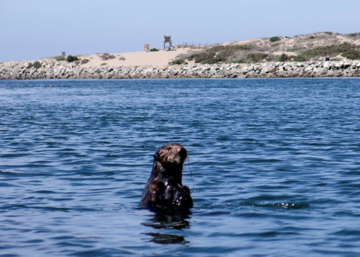 Sea Otter - One of Many